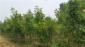 三门峡欧洲红栎