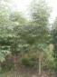 南阳七叶树