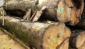 缅甸香红木